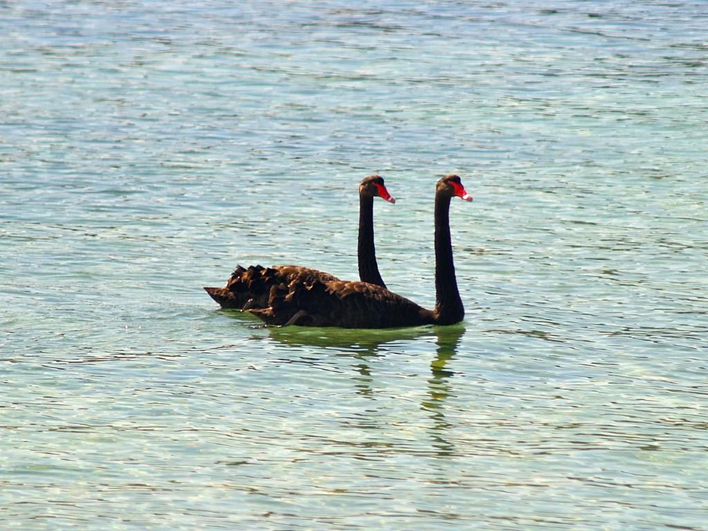 Blac Swan pair