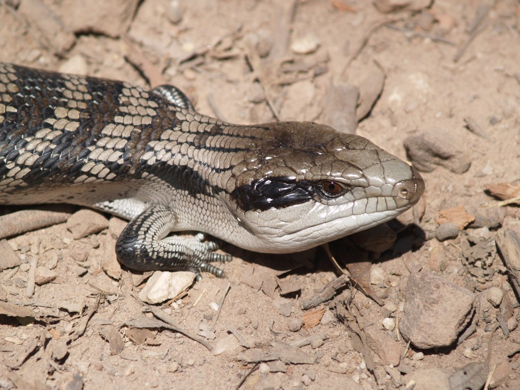 Blue-tongued lizard
