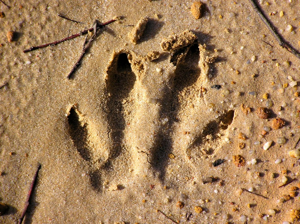 Tracking Australian Animals | Extended Comments for Students