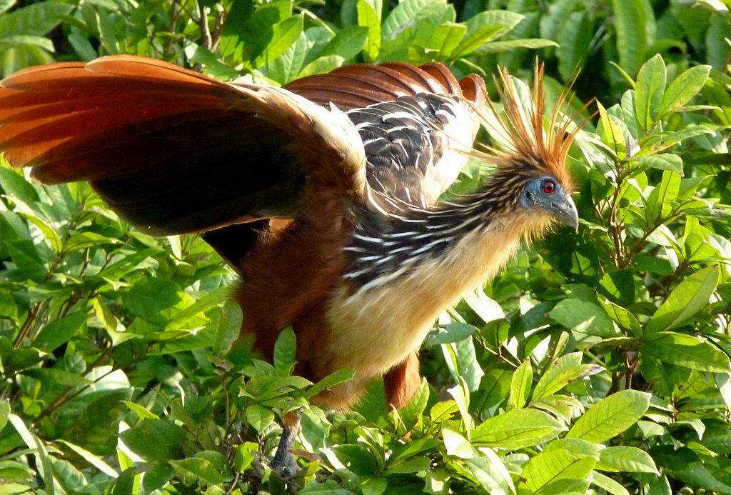 By Kate from UK (Hoatzin  Uploaded by FunkMonk) [CC-BY-SA-2.0 (http://creativecommons.org/licenses/by-sa/2.0)], via Wikimedia Commons