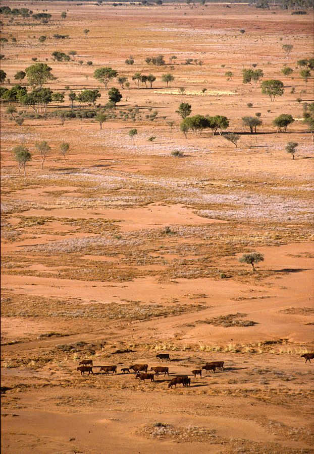 This image is a CSIRO Science Image taken by Robert Kerton. It was sourced through Wikimedia Commons. http://commons.wikimedia.org/wiki/File:CSIRO_ScienceImage_1672_Cattle_in_dry_landscape.jpg